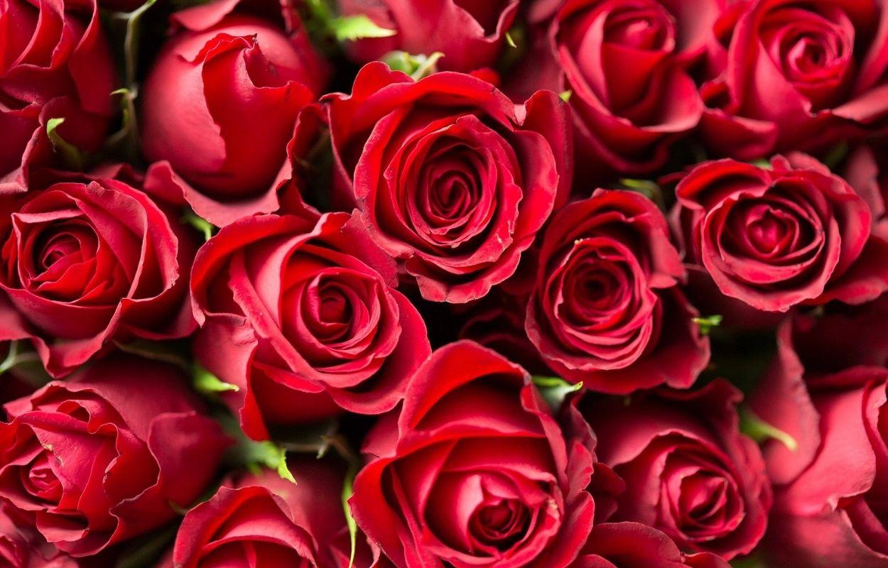 Imagem mostra rosas vermelhas - banho para o amor